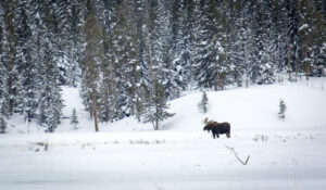 A moose in the snow